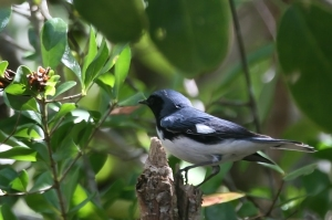 Black-throated Blue Warbler (m) 2 Everglades 4-25-07
